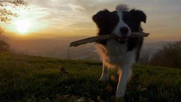 ein Hund spielt mit seinem Stock in Zeitlupe Sonnenuntergang video
