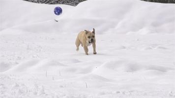 slow motion: hond rent voor de bal in verse sneeuw