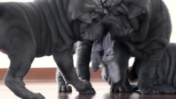 Shar Pei Pups Playing with a Rag video