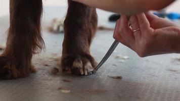 Groomer schneidet die Haare an den Beinen Spaniel
