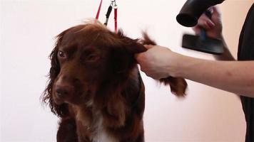 peluquero peine y secador de pelo seco spaniel