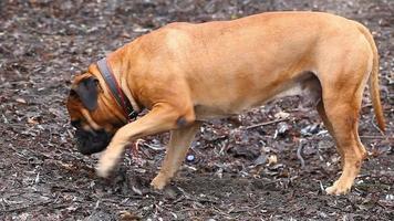 Race de chien de mastiff anglais dans le parc