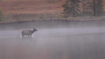 vaca alce cruzando el río