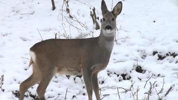 jovem cervo no inverno