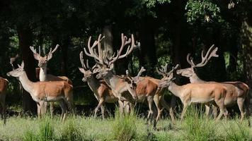 Red deer (Cervus elaphus) video