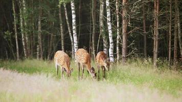 una manada de ciervos moteados video