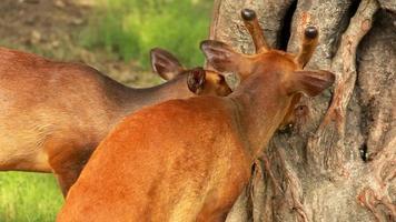 Barking Deer video