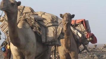 comboio de camelos na etiópia video