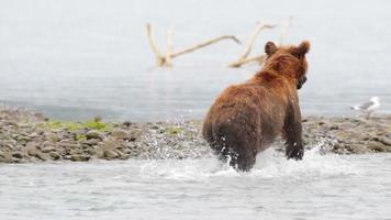 orso bruno in esecuzione in acqua
