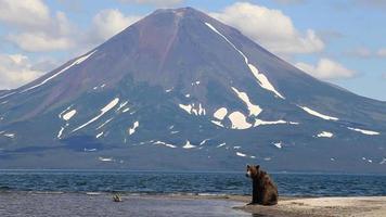 ours médite sur la vie - медведь и вулкан