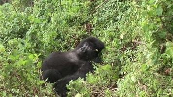 Wild Gorilla Rwanda tropical Forest video