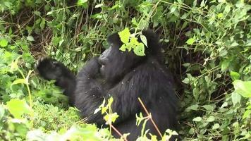 floresta tropical de ruanda gorila selvagem