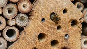 osmia bicornis abeja silvestre