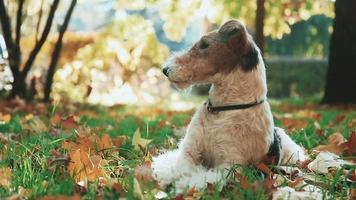 Foxterrier spielt mit einem Stock, der am gelben Herbstgras sitzt.