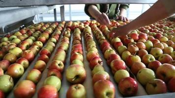 workers sorting apples in the warehouse video