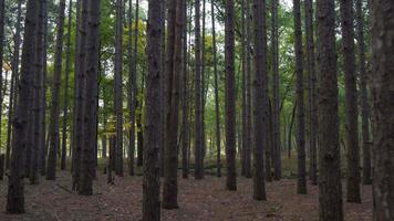 Walking through the forest of tall pines in Ohio