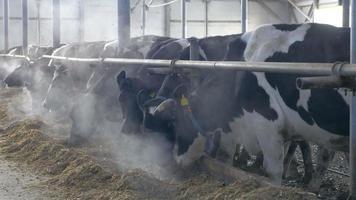 Kühe im Stall essen Heu. Kuhfarm drinnen