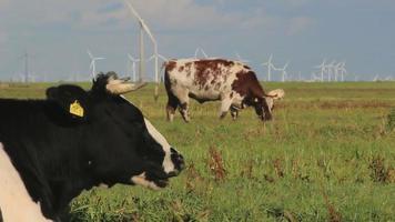 Kühe auf einem Feld video