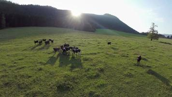 vacas pretas na natureza video