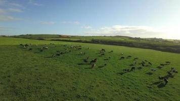 vacas no campo video