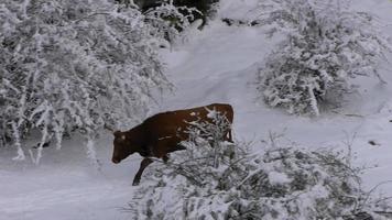 vaca en la nieve