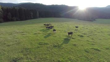 vacas negras en tierras de cultivo