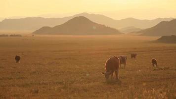 las vacas pastan en la mañana video