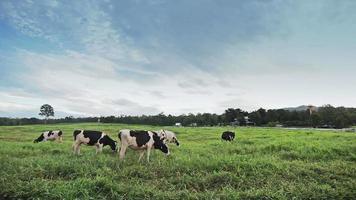 vaca pastando em um gramado video