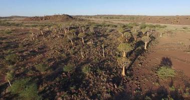 Vista aerea di 4 k di albero faretra / foresta di kocurboom in namibia