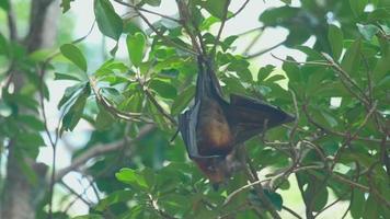 zorro volador cuelga de la rama de un árbol y se lava