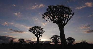 4k Schwenkaufnahme von Köcherbäumen / Kokerboom in der Silhouette gegen den Morgenhimmel