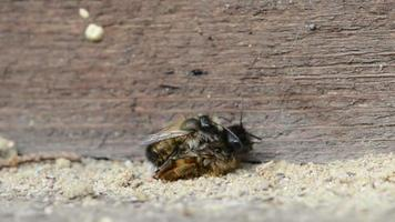 wild bee Osmia bicornis mating on insect hotel.
