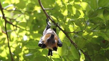 morcegos frugívoros pendurados de cabeça para baixo