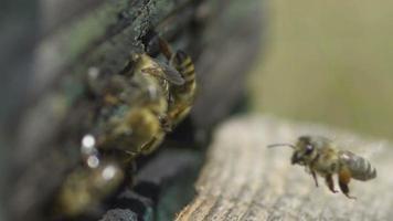abejas en la entrada de la colmena