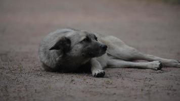 ritratto di un cane vigile sdraiato a terra e scodinzola