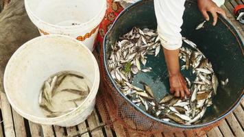 Primo piano di una donna che ordina il pescato in base alla specie e alla dimensione, gettando quelli da rilasciare in un secchio