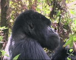 gorilla di montagna silverback mangiare cu