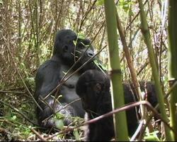 gorilla di montagna silverback mangia mentre il giovane gioca