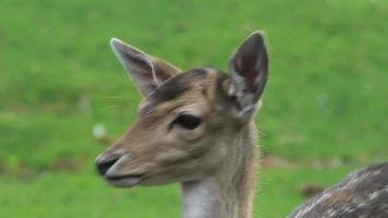 Deer is looking into the camera
