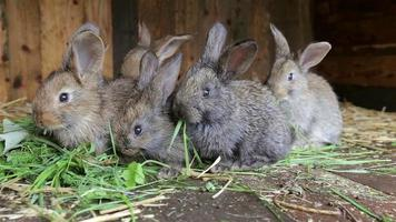 Rabbits sitting in cage and eating fresh grass