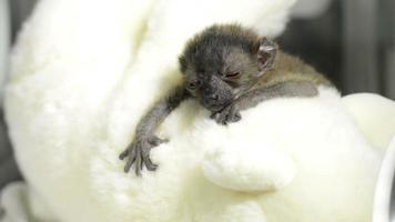 Bebé lémur negro de ojos azules colgando de un oso de peluche