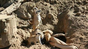 Three videos of meerkats in 4K