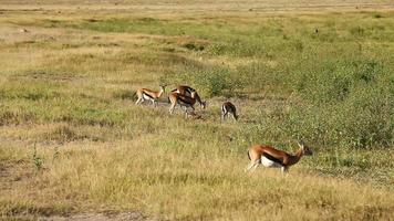 gazelas de thomson no parque amboseli, quênia video