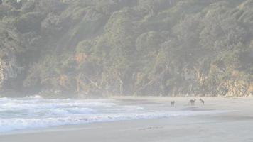 Kängurus am Strand