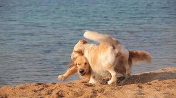 zwei Golden Retriever spielen zusammen am Strand