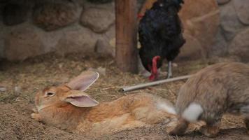 galline e conigli in una stia video