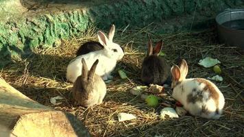 mammiferi - coniglio, famiglia dei lagomorfi