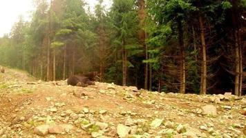 Oso pardo acostado sobre las rocas cerca de un bosque de pinos bajo una pequeña lluvia plan general