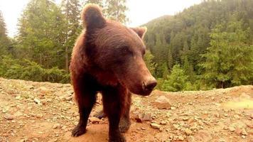 L'ours brun se tient devant la caméra sur un monticule de terre dans une forêt sous une petite pluie