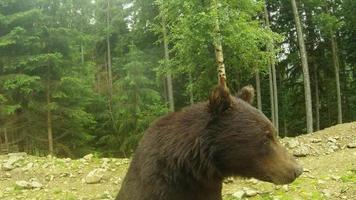 La cabeza de un oso pardo de cerca de un poco de lluvia sobre un fondo de bosque de pinos